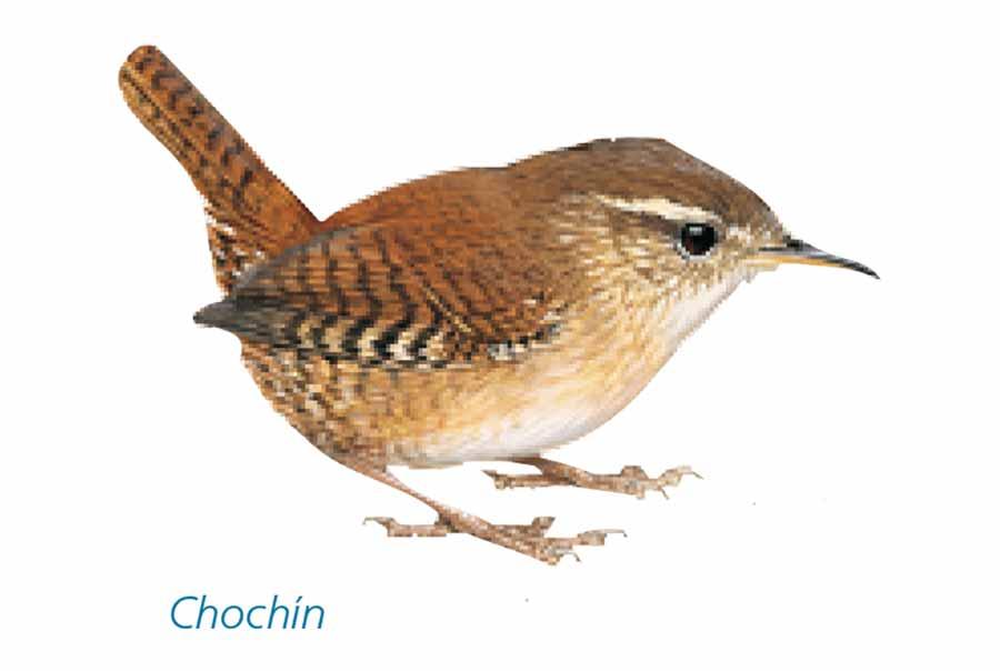Chochin-pajaro-sierra-de-Andujar