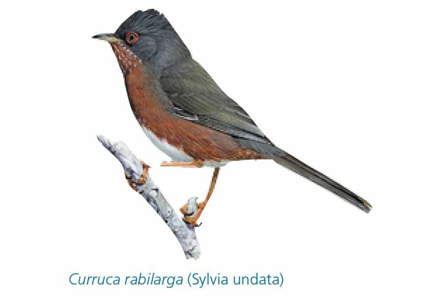 Curruca-Rabilarga-pajaro-Sierra-de-Andujar