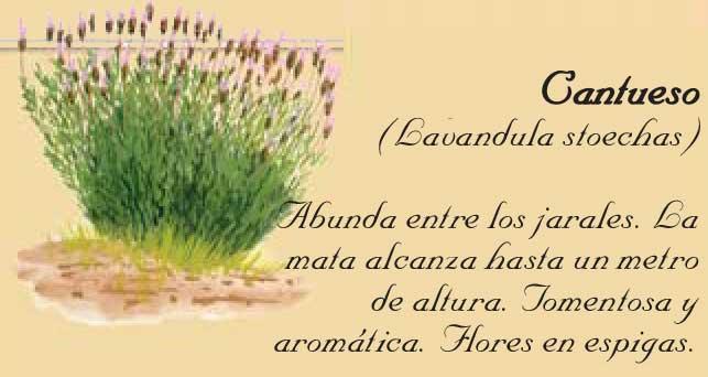 cantueso-en-Sierra-de-Andújar
