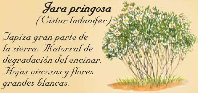 jara-pringosa-en-la-Sierra-de-Andújar