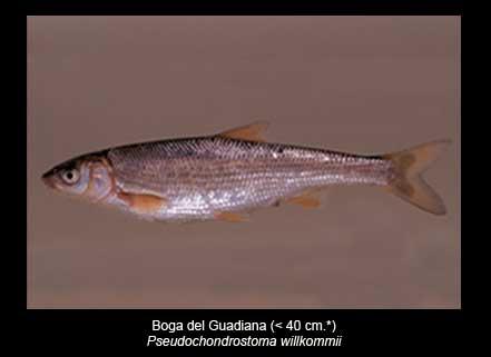 Boga-del-Guadiana-peces-Sierra-de-Andujar