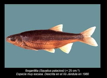 Bogardilla-peces-Sierra-de-Andujar