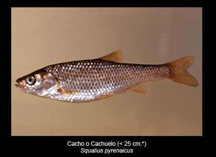 Cacho-peces-Sierra-de-Andujar