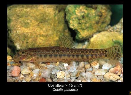 Colmellija-pez-Sierra-de-Andujar