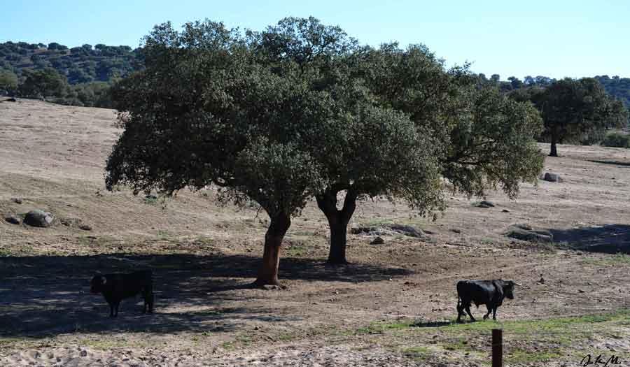 Foto TORO-Sierra-de-Andújar