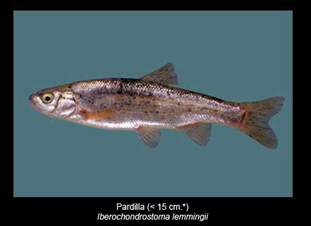 Pardilla-peces-Sierra-de-Andujar