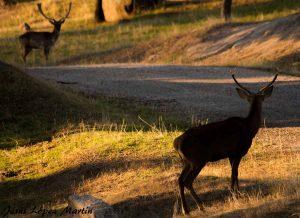 ciervos-coto-de-caza