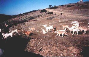 monteria sierra de andujar perros fotos antiguas