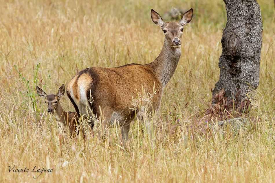 Cierva-y-cria-Parque-Natural-Sierra-de-Andujar