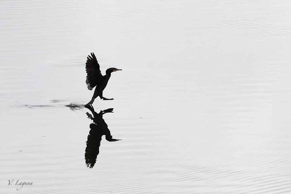 Cormoran-foto-vicente-laguna