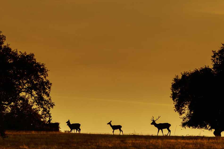 Ciervos-foto-Vicente-Laguna