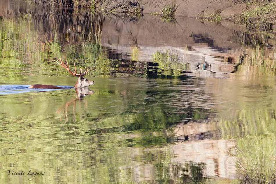 ciervo-cruzando-foto-vicente-laguna