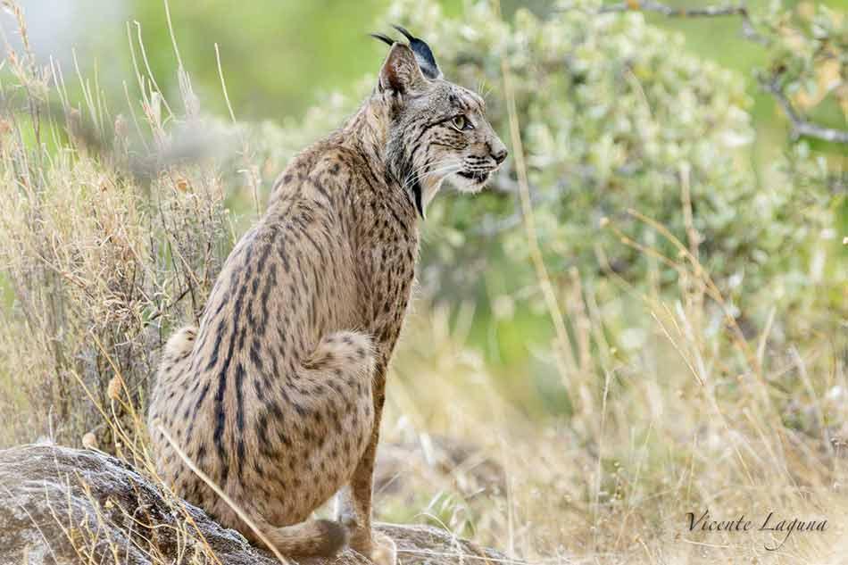 lince-iberico-caza-fotografica