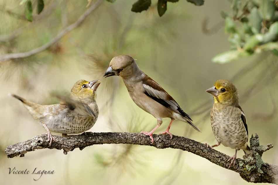 picogordo-hembre-con-crias