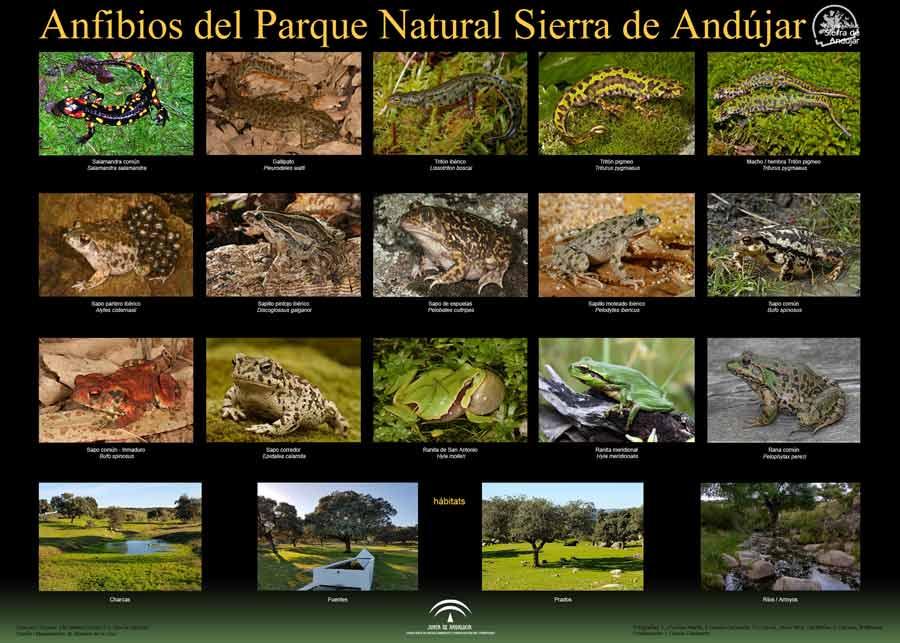 Anfibios-del-parque-natural-Sierra-de-Andujar