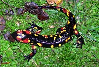 Salamandra en la Sierra de Andújar