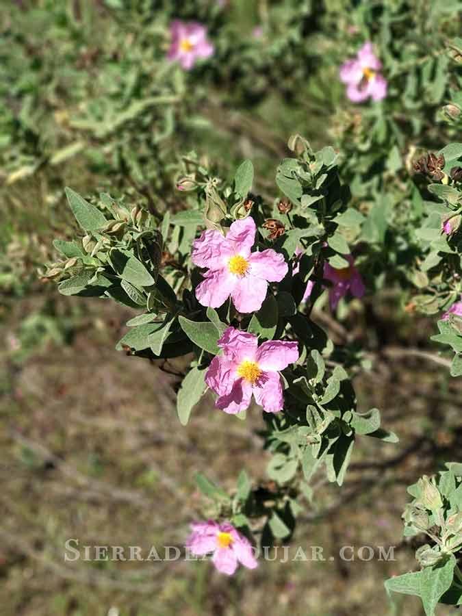 flores-sierra-de-andujar