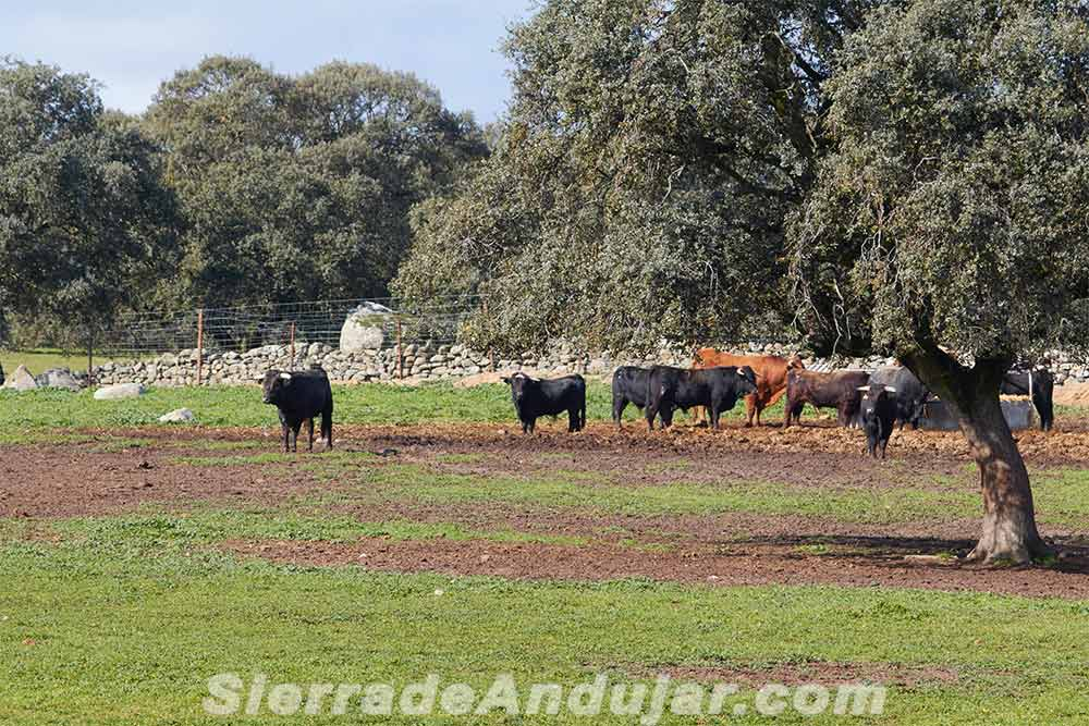 Dehesa ganadería toros bravos