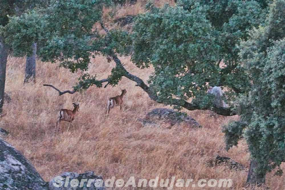 Cabras montesas crias