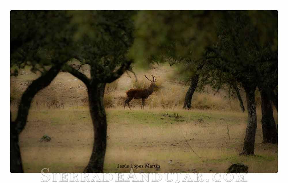 Ciervo Parque Natural Jaén