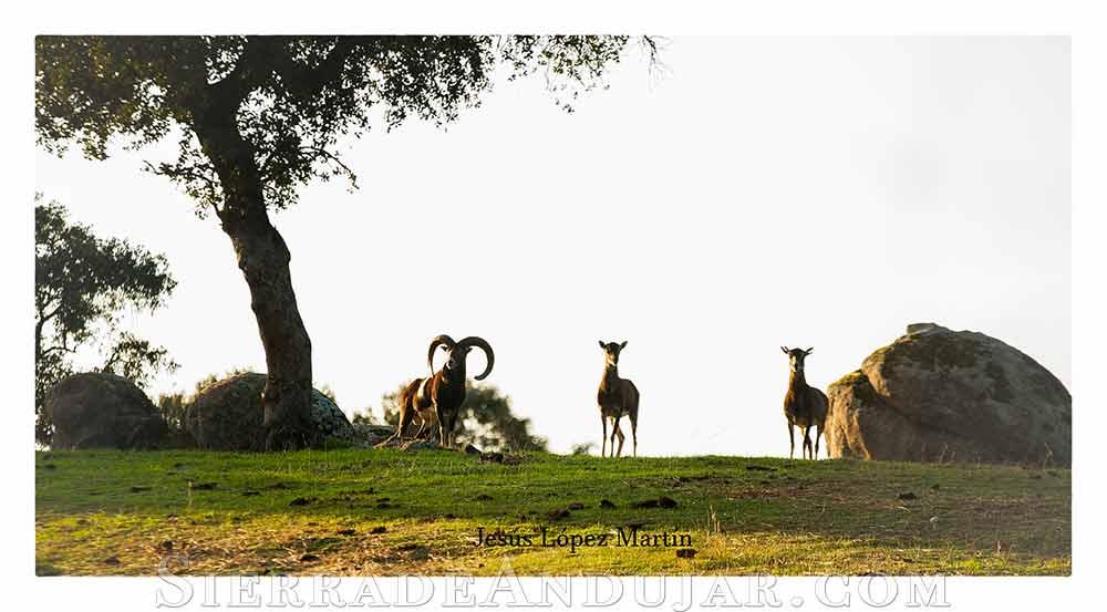 Muflones Parque Natural Jaén
