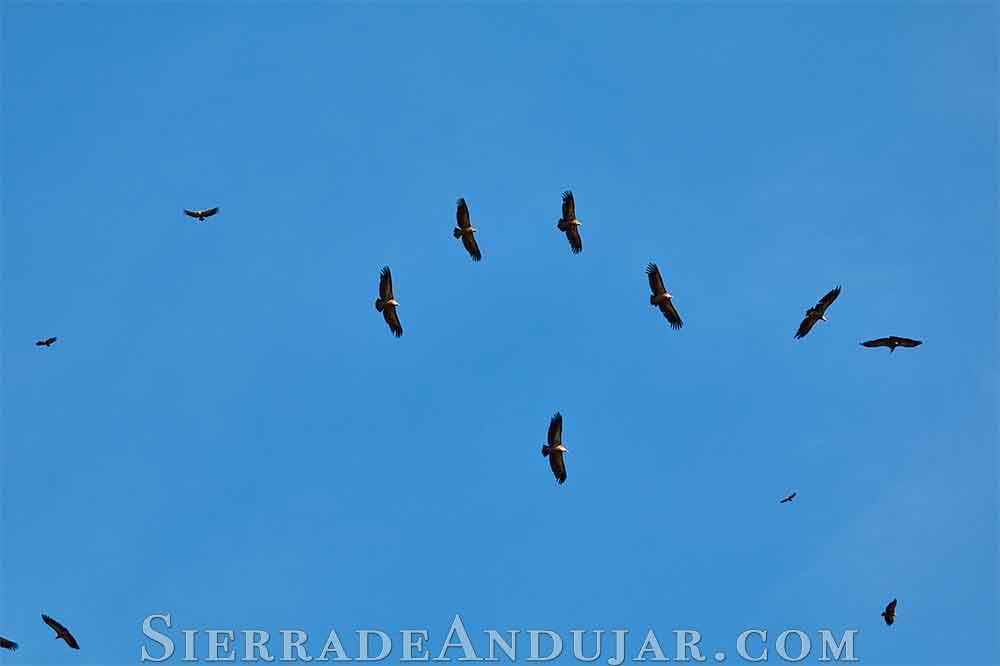 buitres volando